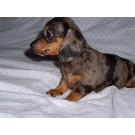 miniature dachshund puppies for sale best 25 dachshunds for sale ideas on daschund puppies for sale weiner