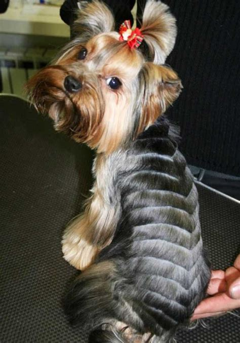 haircuts for yorkie dogs females male yorkie hairstyles hairstyles by unixcode