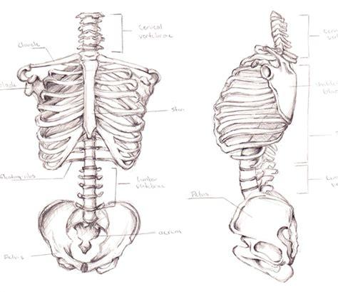 skeletal torso by lilithianrose sketch build character