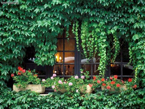 ivy vine wallpaper wallpapersafari