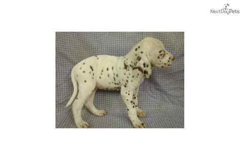 dalmatian puppies for sale in ky dalmatian puppy for sale near western ky kentucky b227e191 a941