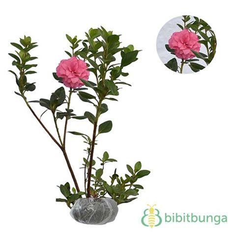 tanaman azalea pink tumpuk bibitbunga
