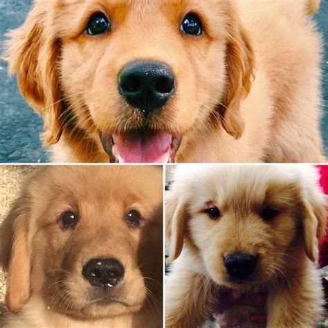 golden retriever puppy coat puppies available akc golden pups