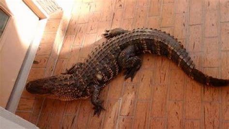 Alligator At Front Door Alligator Shows Up At Central Florida S Front Door