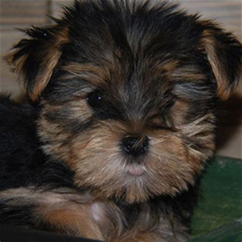 black morkie puppies morkie puppy sale black sold bark avenue puppies