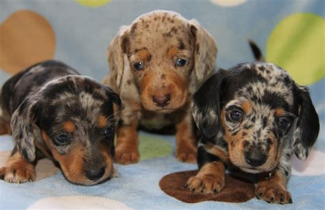 dapple dachshund puppies for sale dachshund friendly and curious miniature dachshunds and dachshund puppies