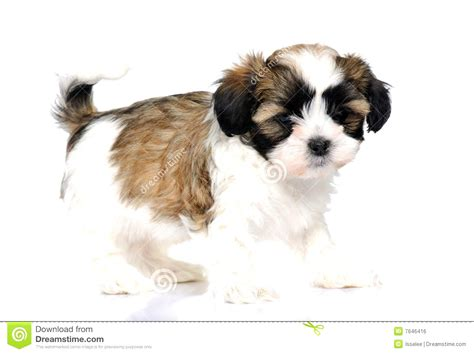 australian shepherd shih tzu mix grown the gallery for gt grown mini australian shepherd