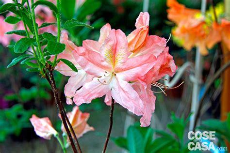 azalee da giardino azalea japonica azalea sempreverde da esterno cose di casa