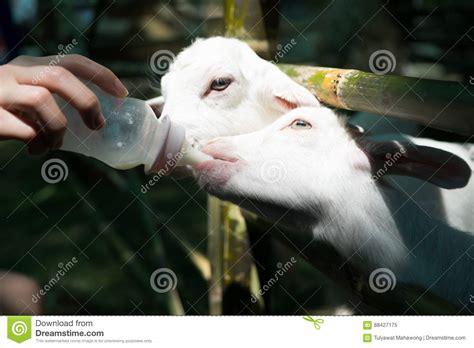 alimentazione capra alimentazione della capra fotografia stock immagine