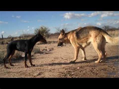 rottweiler vs doberman vs german shepherd fight dobermanrottweiler puppy vs german shepherd breeds picture