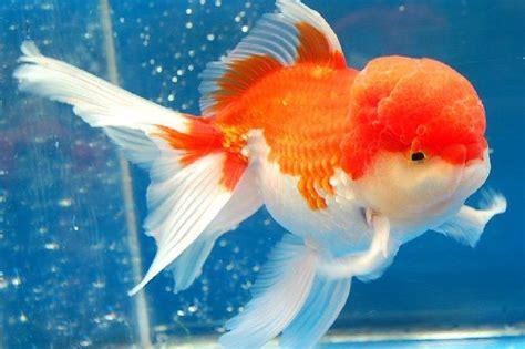 Pakan Ikan Koki Oranda ikan koki oranda untuk kontes harga murah