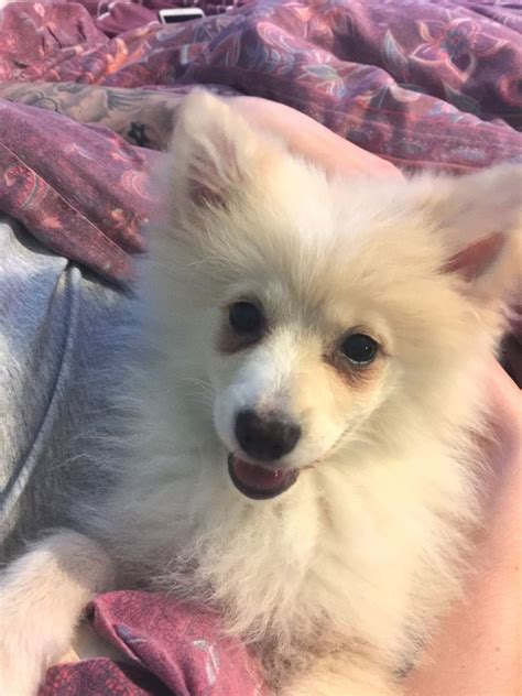 pomeranian cross for sale pomeranian cross puppy for sale dagenham essex pets4homes