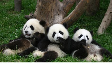 one panda pandas