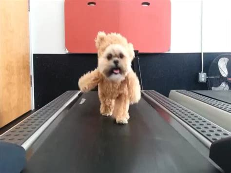 ewok costume for shih tzu shih tzu in teddy costume treadmill irl ewok izismile