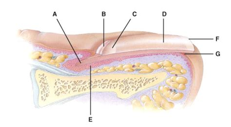 fingernail diagram the gallery for gt nail root diagram