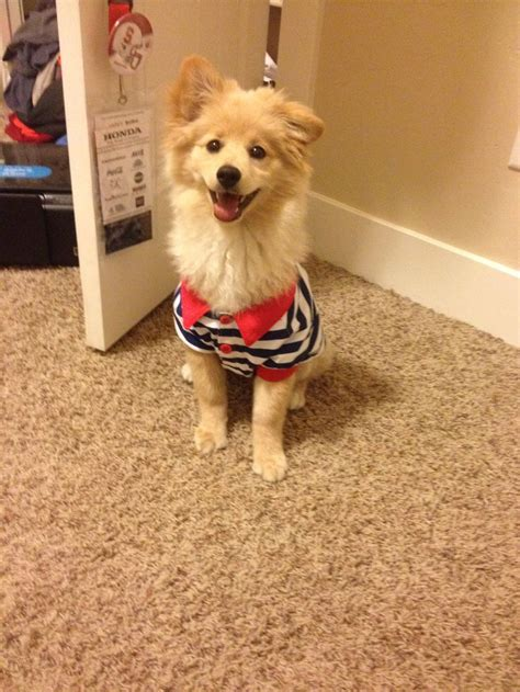 pomeranian corgi mix pomeranian mixed with corgi poms