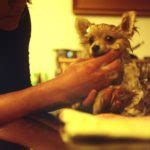 how often should you bathe your yorkie the best way to groom a senior small