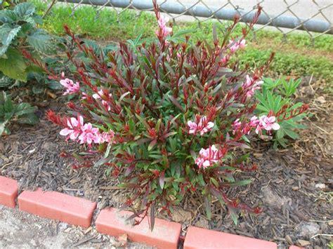 gaura perennial care growth needs of the gaura plant