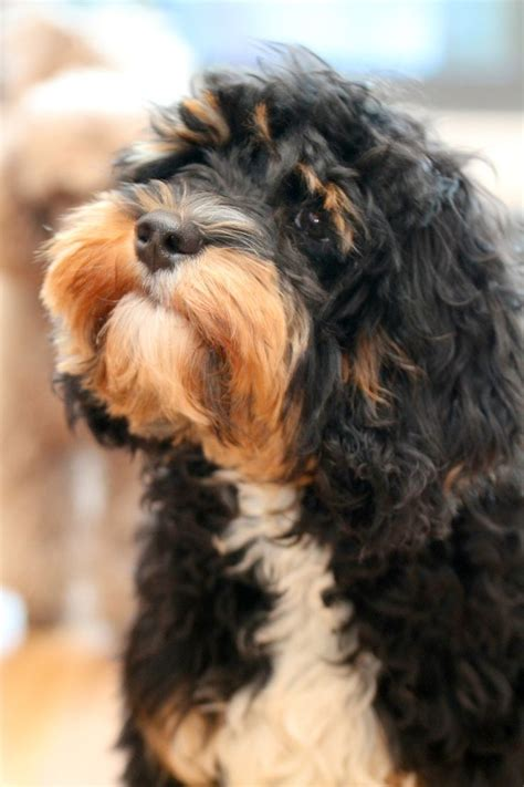 cavoodle x shih tzu 18 best images about cavoodles on poodles cavapoo puppies and spaniels