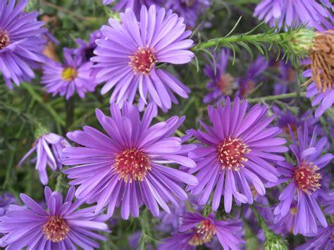 aster type of flowering plants type of flowers wallpaper