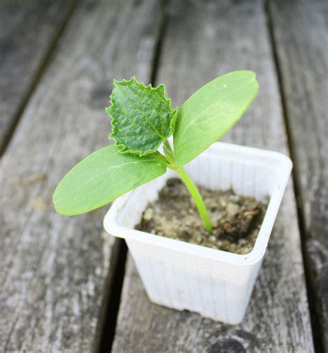 coltivare in vaso orto sul balcone come coltivare il melone in terrazzo