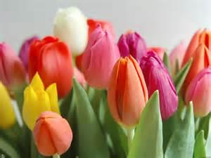 tulips auntie dogma s garden spot