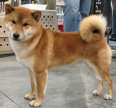 white shiba inu puppies shiba inu nonsporting breeds from the encyclopedia dogs in