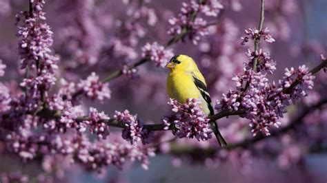 do yellow finches migrate reference com