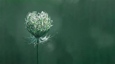 wallpaper flower green macro  nature