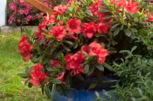 encore 174 azalea the world s best selling multi season
