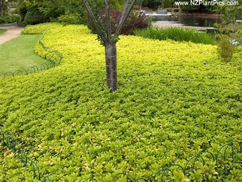 popular landscaping groundcovers and shrubs ground cover plants northern mi stepables plants