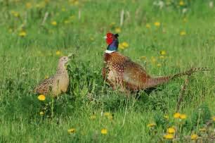 Backyard Pheasants by Pheasants In The Backyard The Bis Key Chronicles