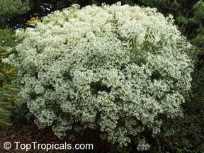 Miniature Shrubs That Flower - euphorbia leucocephala pascuita snows of kilimanjaro white small leaf poincettia snow bush
