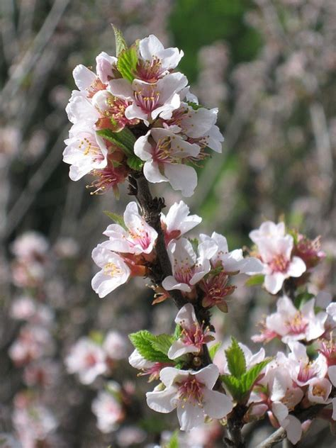 17 best images about apple blossoms on apple