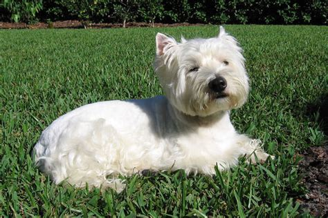 how bad do westies shed advice from real westie owners