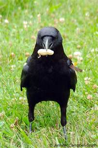 crows the tail pulling food stealing bird prodigies