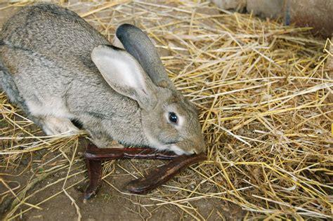 alimentazione conigli da carne pulizia delle gabbie dei conigli consigli utili vita in