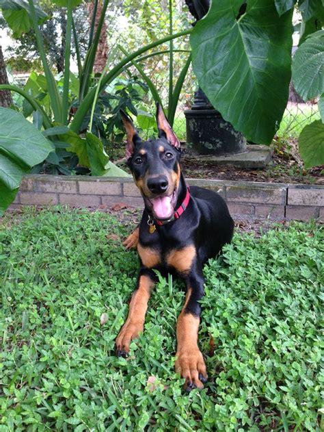 rescue doberman pinscher puppies 1366 best images about dobie on doberman