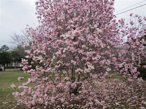 panoramio photo of a japanese magnolia tree in full bloom