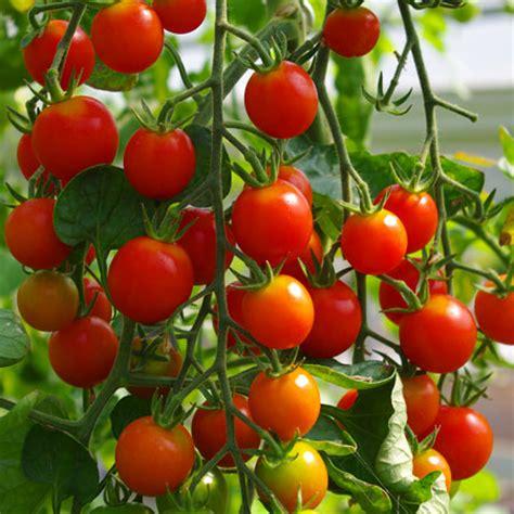 Tomaten Garten by Gourmetzauber Gem 252 Se Kientzler
