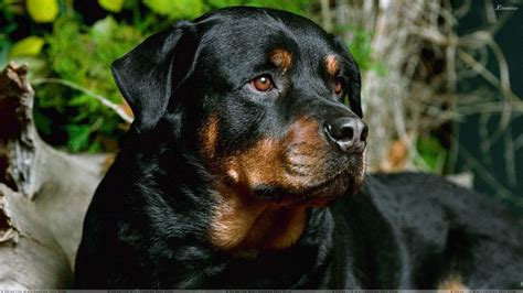 all black rottweiler black rottweiler sitting wallpaper
