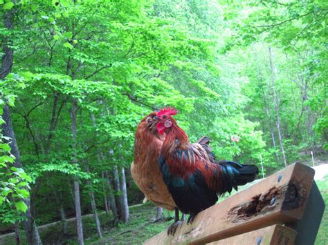 the pro s and cons of roosters backyard chickens community