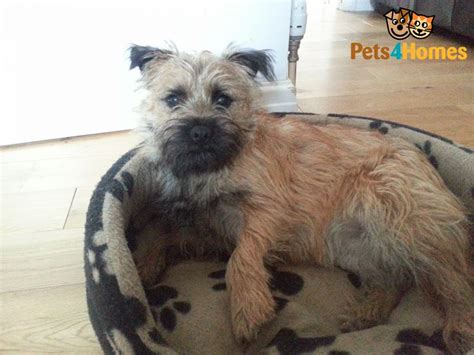cairn terrier mix puppies for sale page not found 171 breeds picture