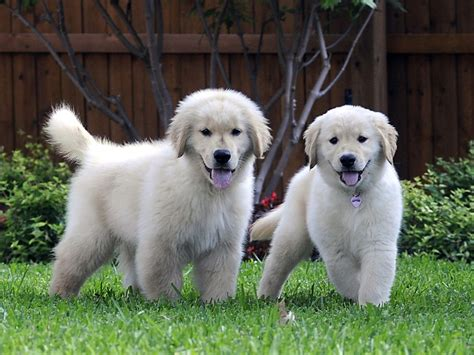 where are golden retriever dogs from golden retriever puppies