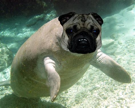 pug hybrids a combination of two of my favourite animals pug manatee yeaaaah pics
