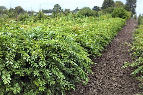 Planter Des Troenes planter des tro 232 nes sur un talus d 233 tente jardin