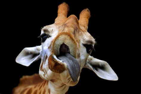imagenes de jirafas sacando la lengua los animales y yo jirafas divertidas