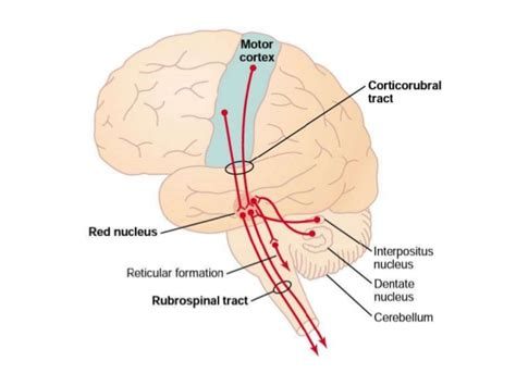 primary motor cortex function and location motor cortex