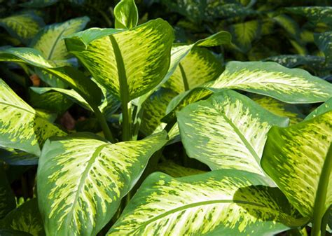 pictures of house plants poisonous to cats image gallery dieffenbachia poison