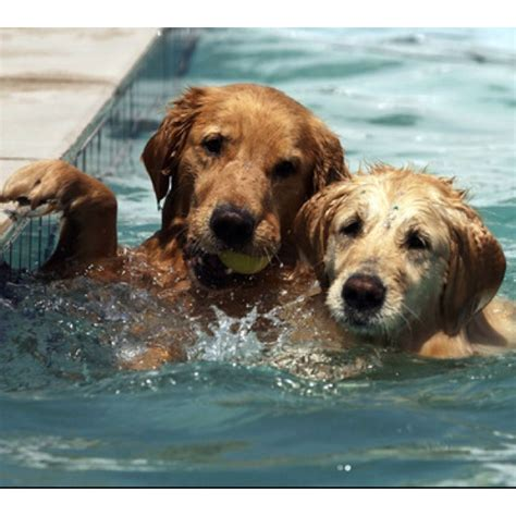 dogs in pool dogs in the pool golden delights